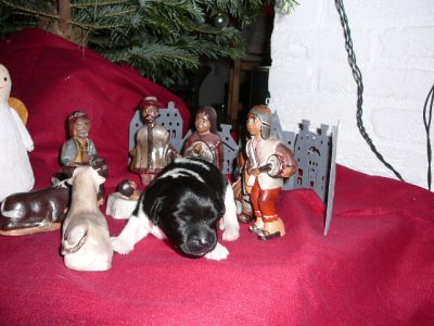 Dryske in de kerststal